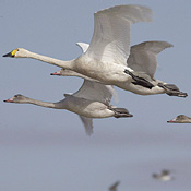 Migrating birds like these wild swans in Mongolia could spread the flu virus, health experts warn.
